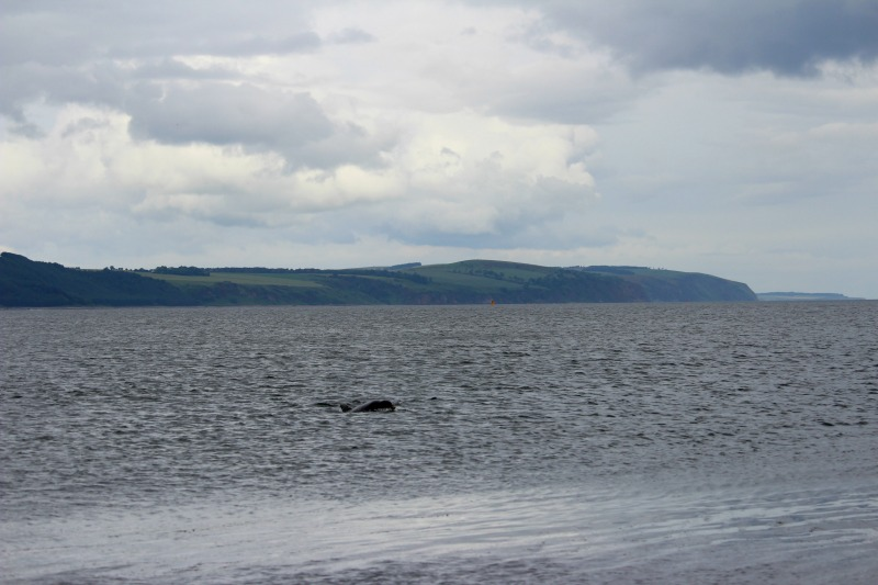 dolphins chanonry point 2