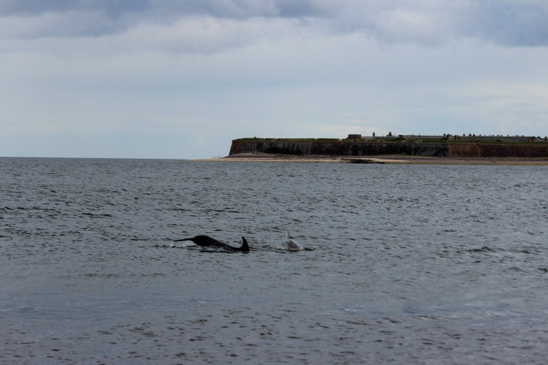 dolphins chanonry point 4