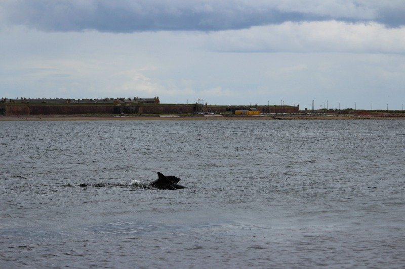dolphins chanonry point 5