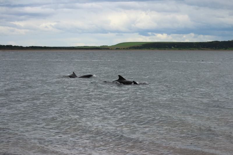 dolphins chanonry point 7