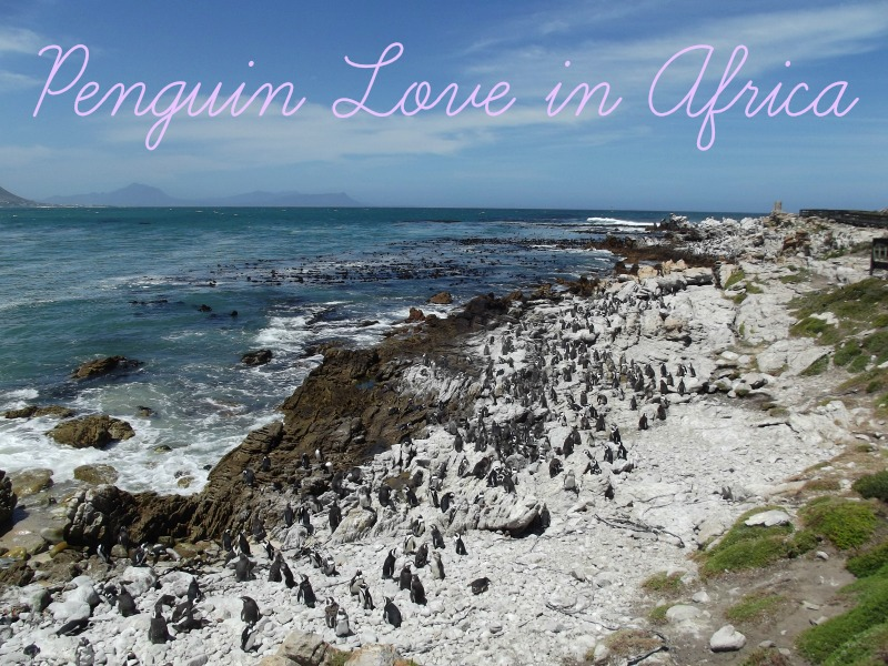 penguin love in africa