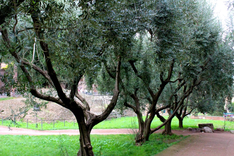 trees at the palatine hill