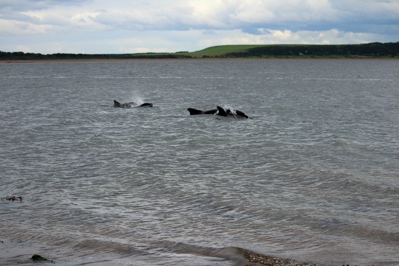 dolphins chanonry point 6